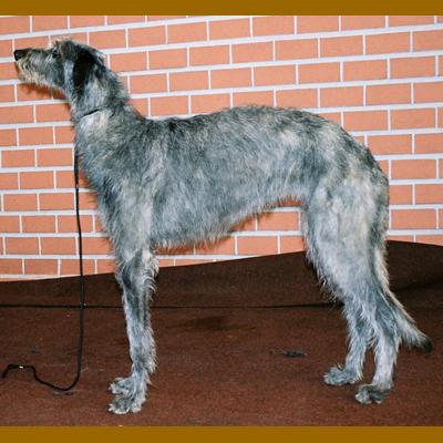 Great Dane Bloodhound And Deerhound | Dog Breeds Picture