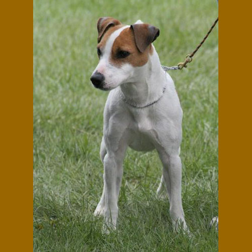 Jack russell terrier smooth coat